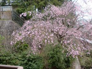エステート・イン洛の裏庭の桜